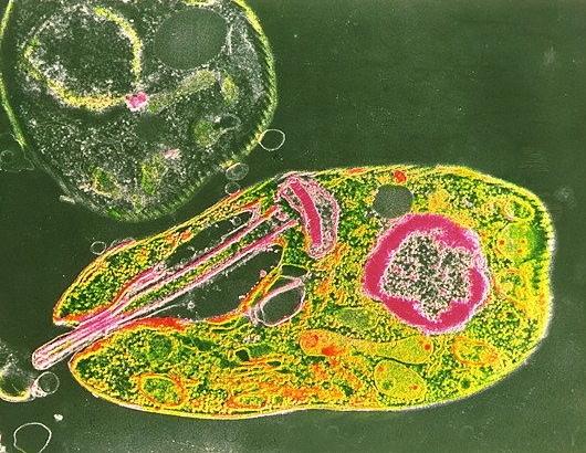 Leishmania_tropica